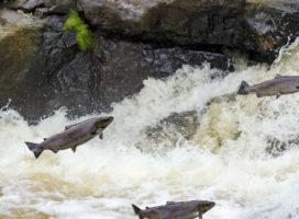 Peixes de Piracema – Aos que estão desanimados